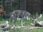 群れから離れた一匹狼