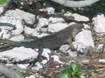 nov25-iguana4.jpg