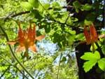 変な形のオレンジの花-みにょのお気に入り