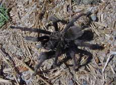 tarantula_sm.jpg