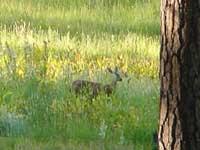 ヨセミテの鹿さん